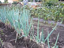 野菜畑を耕します